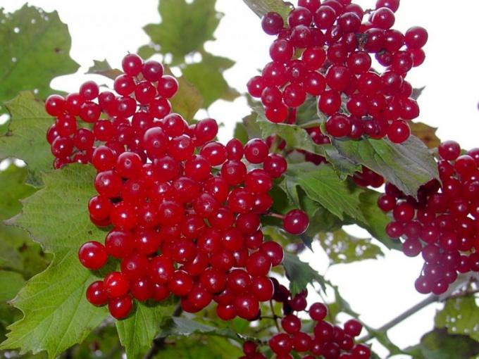 Калина - плодоносящее декоративное растение