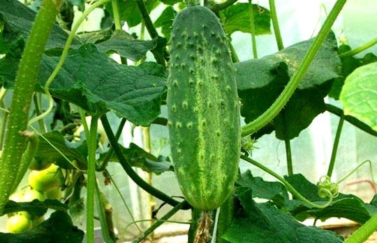 How to grow cucumbers without a greenhouse