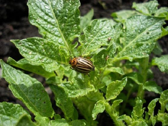 Как защитить картофель от колорадского жука