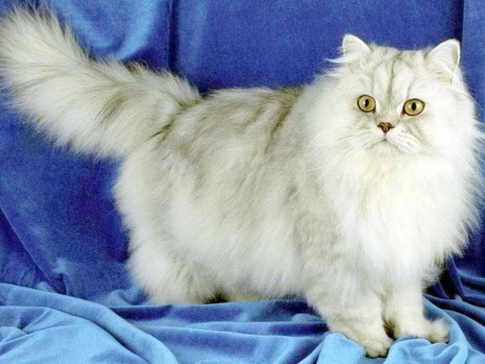 Персидские кошки: некоторые особенности