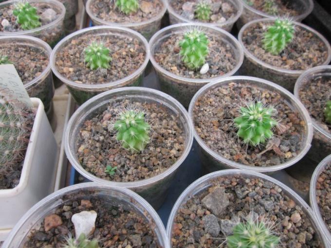 Рассада кактусов