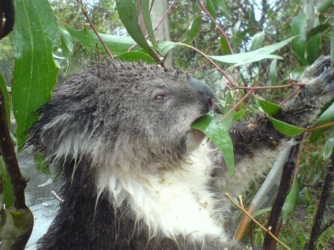 Коала питается исключительно листьями эвкалипта