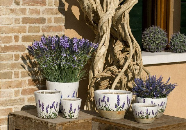 In Sunny weather, the lavender out in the garden or put on the balcony