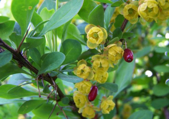 Цветы и плоды барбариса