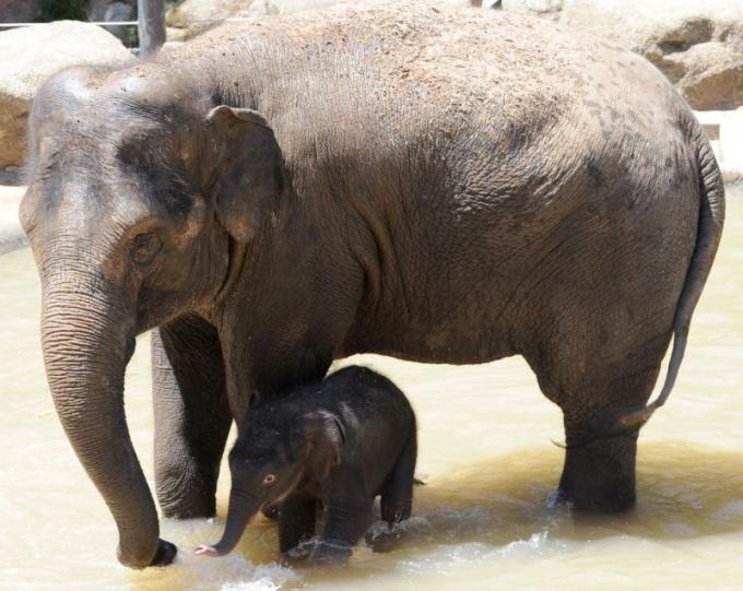 Как протекает беременность у звериных