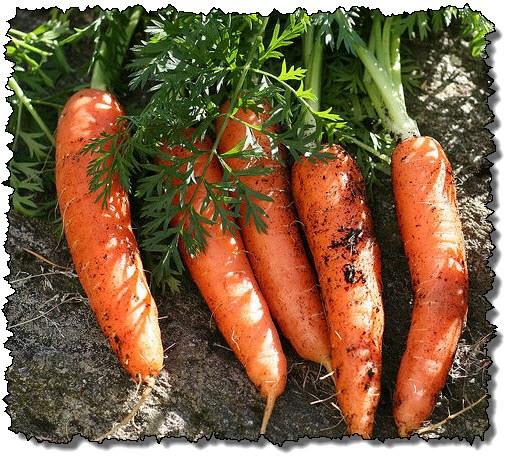 Как выбрать семена моркови