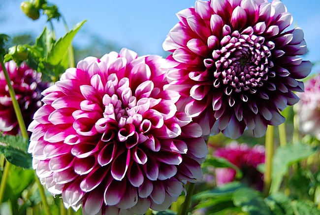 How to generate dahlias