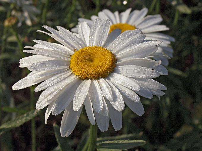 Как вырастить садовую ромашку с крупными цветами