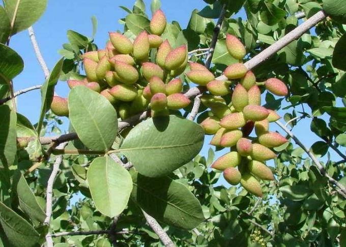 Вызревание плодов фисташкового дерева
