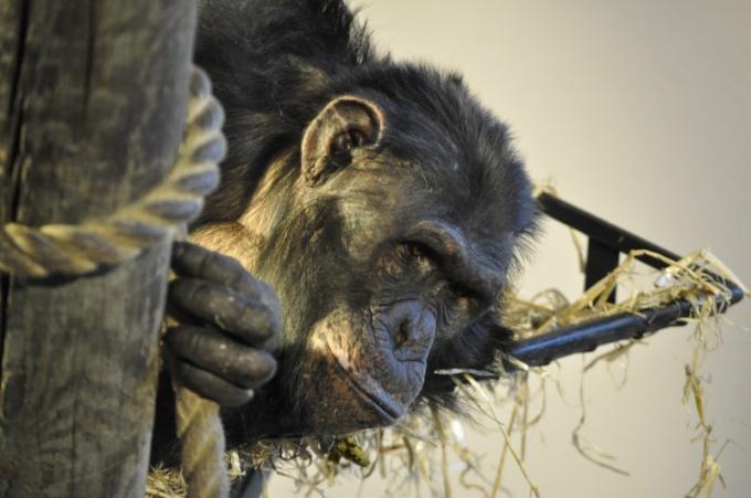 Мир обезьян таит в себе много загадок и открытий