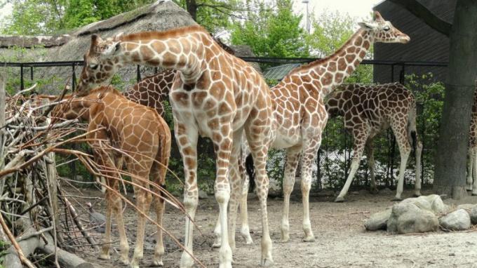 такой жираф Мариус