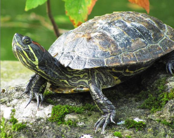 Где и как зимуют болотные черепахи