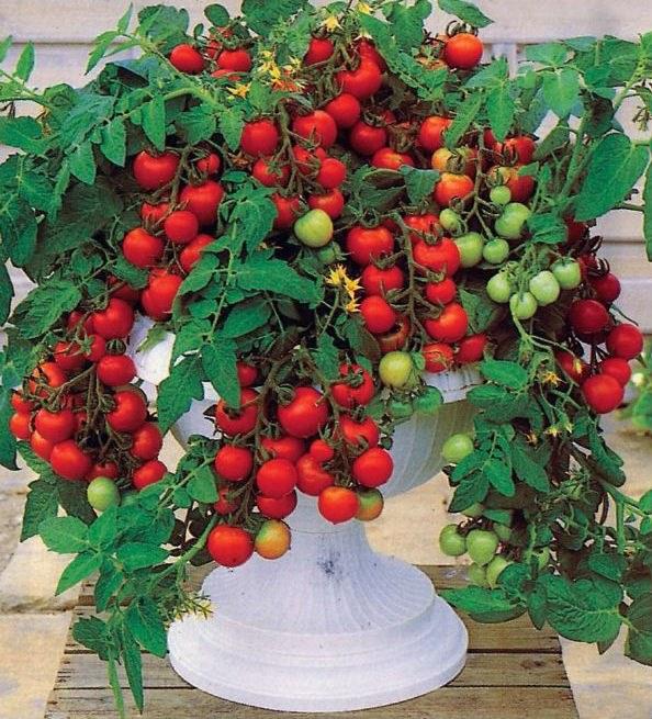 Как выращивать декоративные помидоры в горшках