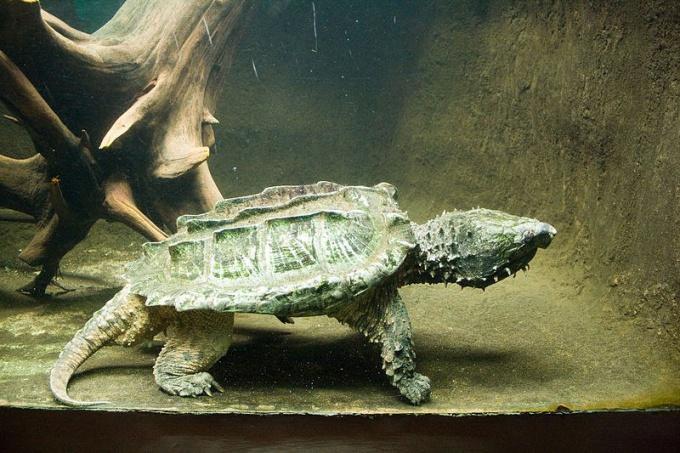 Где обитает грифовая черепаха