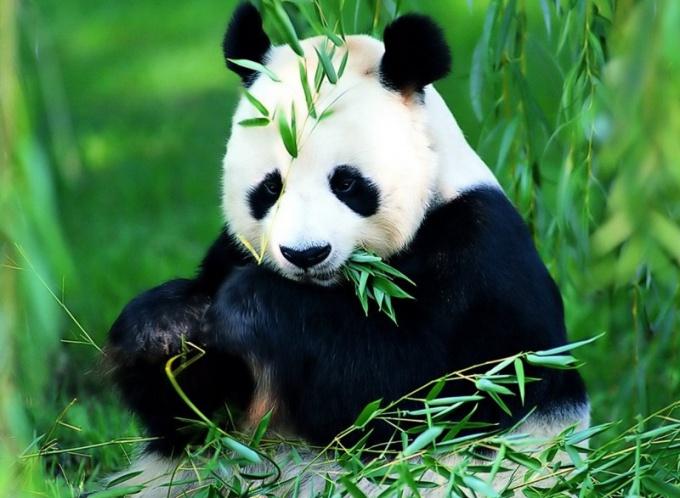 Панды - это национальное сокровище Китая!