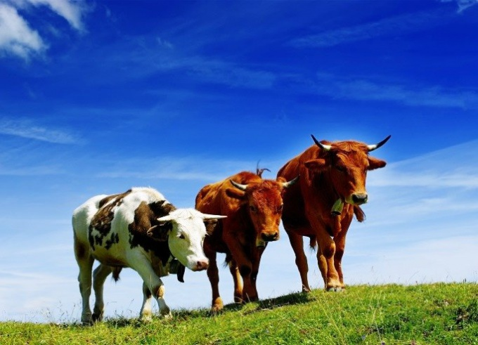 Где дозволено приобрести корову