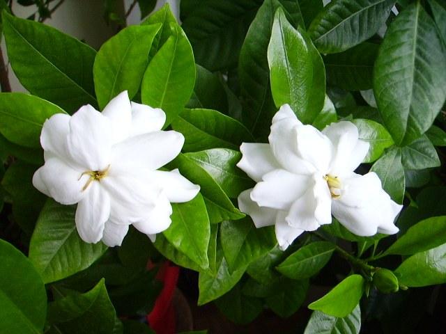 Gardenia jasminoides: care, transplanting, watering