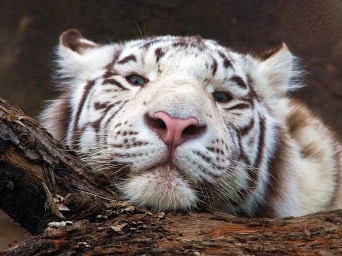 и почему меняется численность тигров в природе