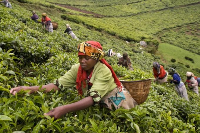 Главные районы товарного земледелия Африки