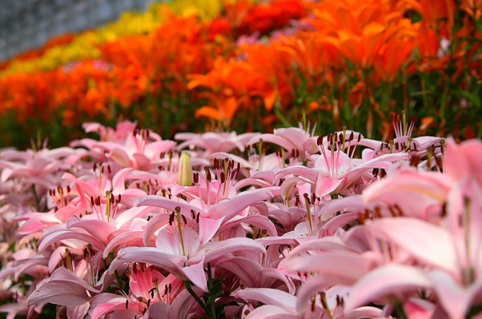 Где лучше высаживать лилии в саду