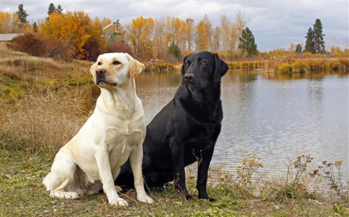 Особенности собаки породы лабрадор