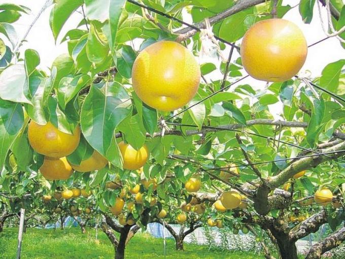 Семь правил техники съема плодов груши