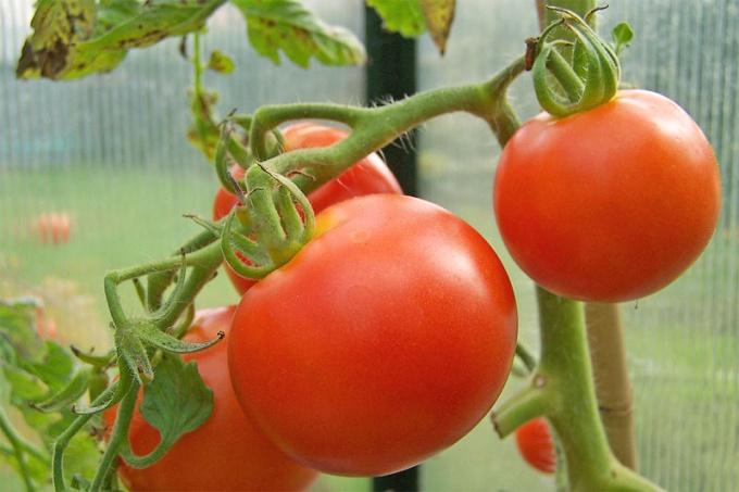 Надо ли нормировать томаты
