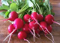 Выращиваем качественный редис