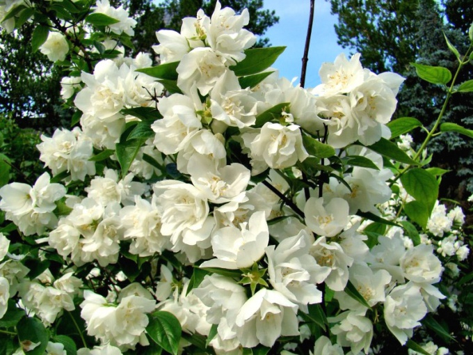 Varieties of garden Jasmine (mock orange) fragrant flowers