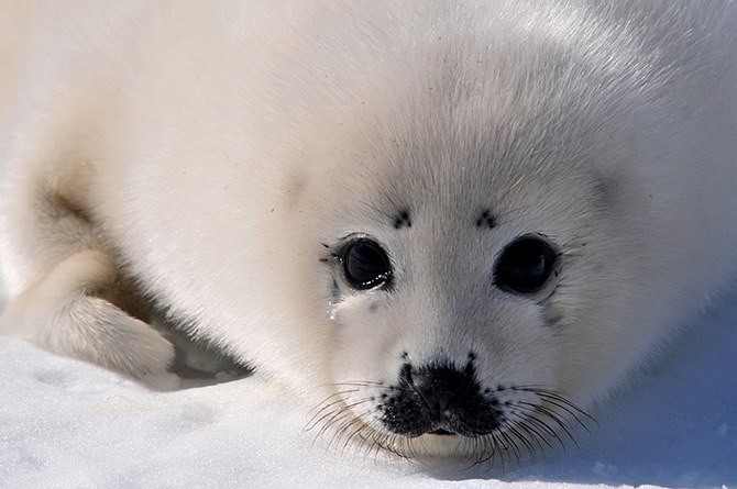 Милый детеныш тюленя