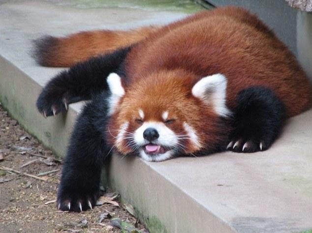 Яркая рыжая панда