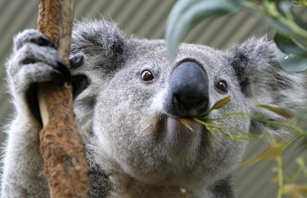 Плюшевая коала