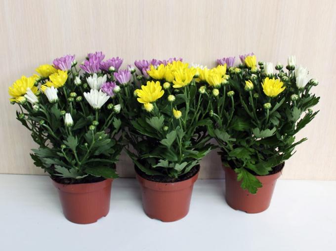 Советы по уходу за хризантемой