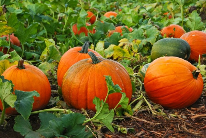 How to germinate pumpkin seeds