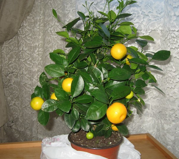 Полив мандарина, выращенного в домашних условиях