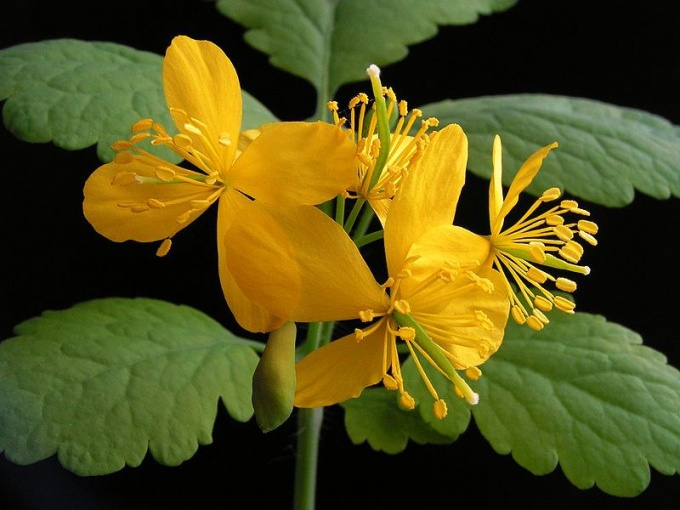 Celandine is used in the treatment of cancer