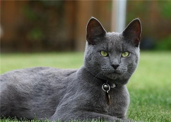 Популярная порода кошек - русская голубая