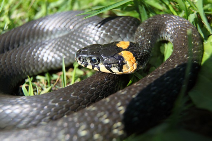 Обыкновенный уж - самая знаменитая неядовитая змея в мире!