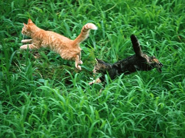 Как познакомить кошек
