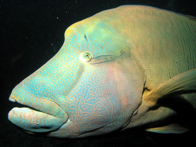 The wrasses are fish-hermaphroditic