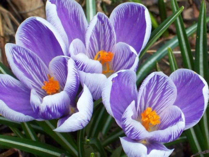 Цветут крокусы ранней весной и осенью