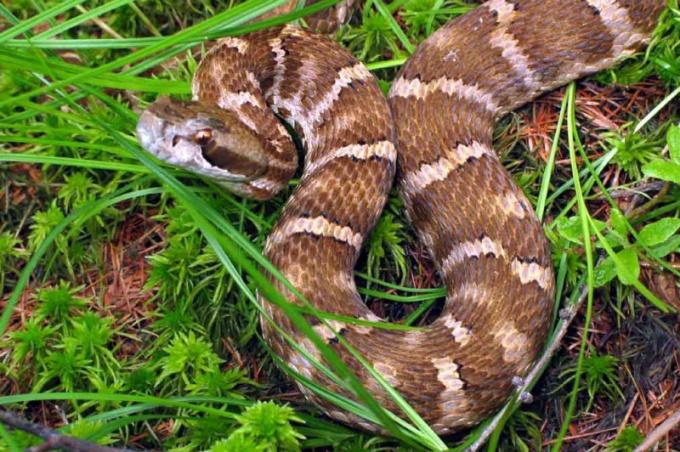 Как узнать ядовитую змею