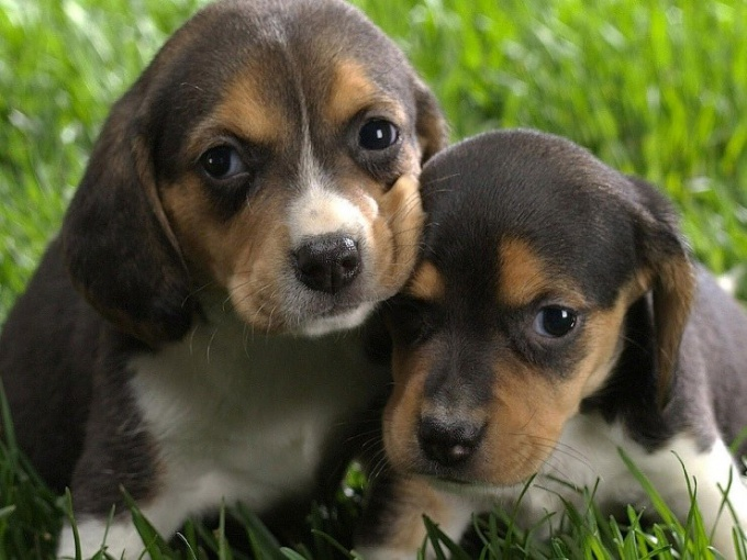 How are the puppies of the Dachshund