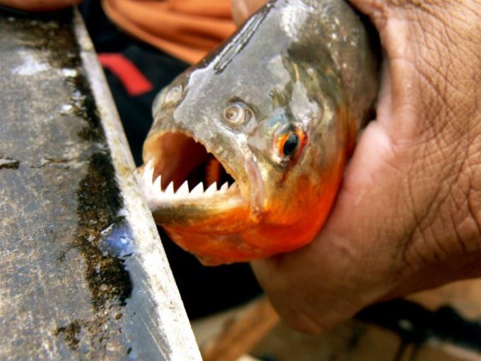 Пираньи одни из самых опасных рыб в мире