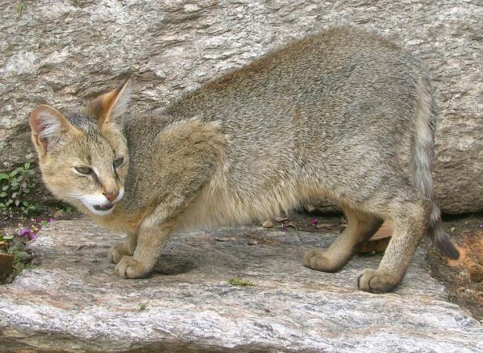 Камышовые коты - самая крупная порода кошек
