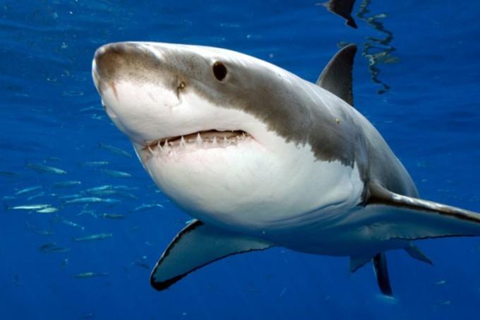 Белая акула является самой опасной рыбой в мире!