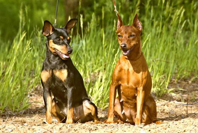 Dwarf or miniature, Pinscher (miniature Pinscher)