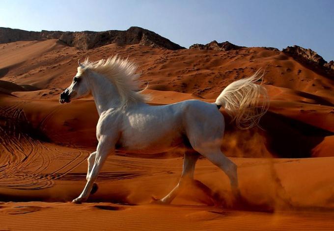Арабские скакуны - элитная порода чистокровных лошадей