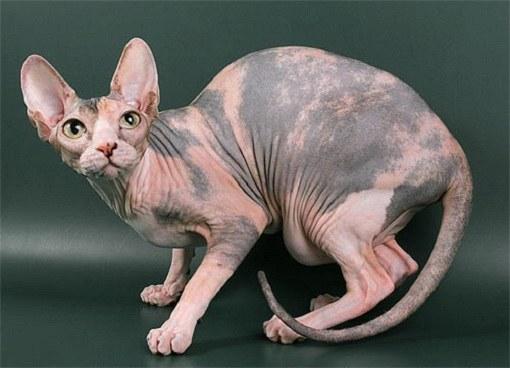 Бесшерстные кошки водились в Мексике еще в начале 1920-х гг.