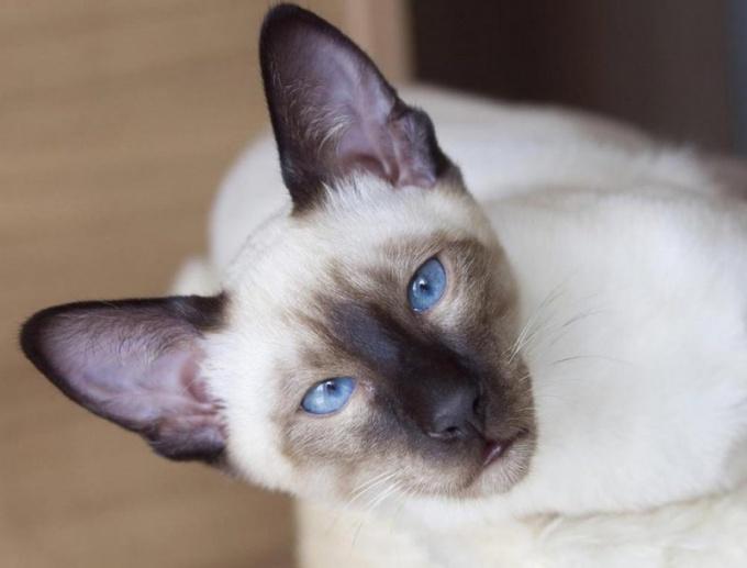 Сиамские кошки - одна из самых красивых пород